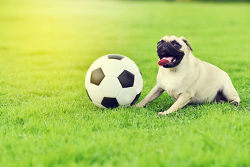 Cute fat Pug playing with ball in garden