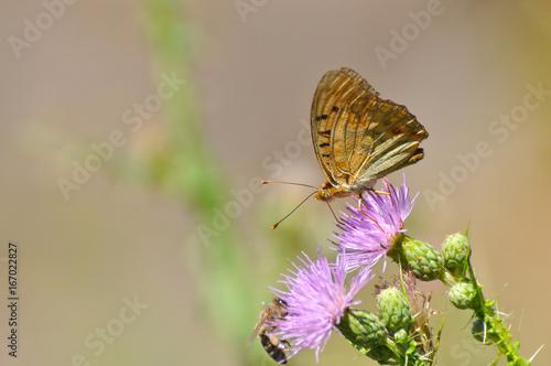 Argynnis pandora - Cardinal cloak butterfly on a flower in summer Poster