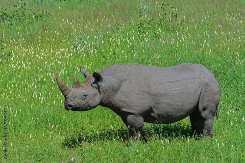 Namibia Etosha national park black rhinoceros