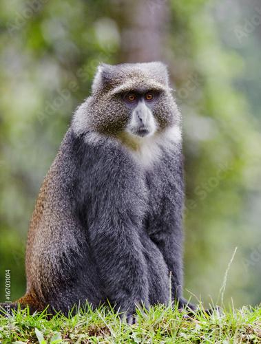 A wild vervet monkey in Africa in the rainforest.