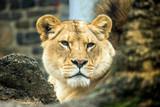 Lew wpatruje się we mnie