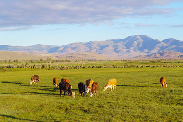 Cows and calves grazing in a meadow in sunrise light