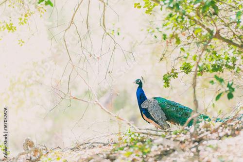 Foto op Aluminium Pauw Colorful Peacock