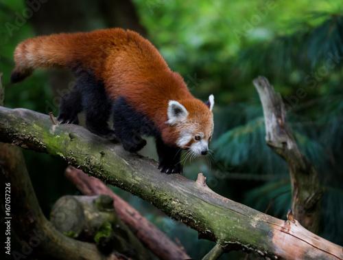 Plexiglas Panda Red panda photo