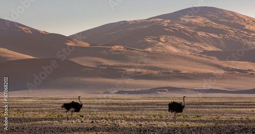 Foto op Canvas Cappuccino Ostrich in the desert