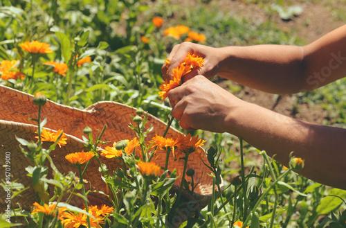 Poster harvesting calendula flowers
