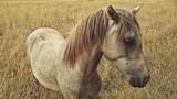 Koń w złotym polu