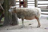 une brebis dans la ferme - 167093869