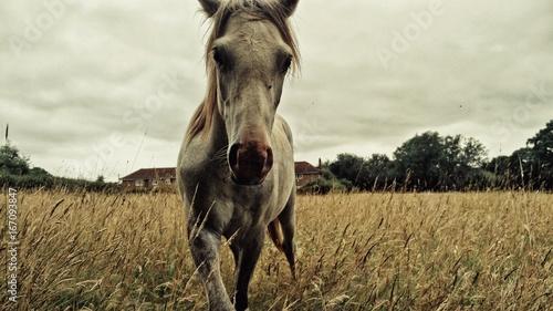 Horse in a golden field