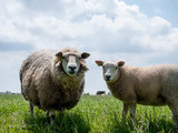 Sheep in Meadow - 167110440
