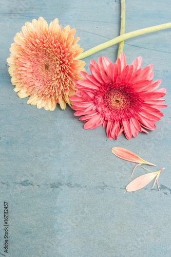 Lovely gerbera daisy flowers on turquoise shabby chic background