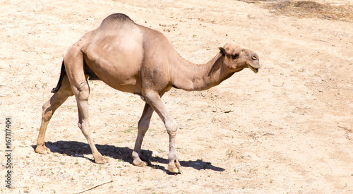 Camel on pasture in deserted nature