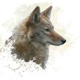 Coyote watercolor