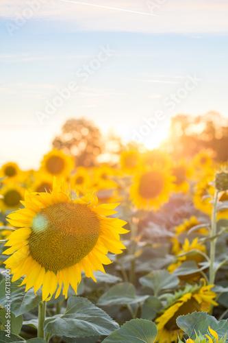 Fotobehang Purper Sunflowers in the sunset / Field of Sunflowers under bright skies