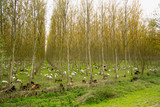 Flock of sheep goats and donkeys in the middle of a poplar grove - 167131649