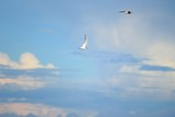 Two flying terns among the clouds