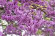Leinwanddruck Bild - Blühender Gewöhnlicher Judasbaum (Cercis siliquastrum)