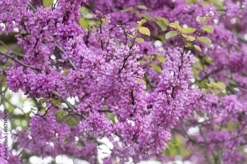 Leinwanddruck Bild Blühender Gewöhnlicher Judasbaum (Cercis siliquastrum)