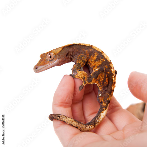 New Caledonian crested gecko on white Poster