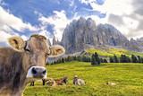 Kuh am Rosengartenmassiv