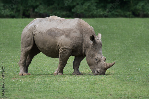 An isolated side view profile photograph of a rhino grazing with its head down eating the grass