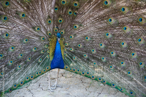 Foto op Aluminium Pauw Peacock with open feathers