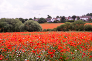 Red Poppy field at late afternoon in the summertime in Leicester-shire UK