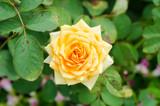 Beauty orange rose flower,Decoration flowers in a garden