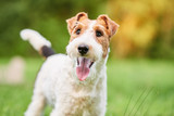 Close up shot of a happy cute fox terrier dog in the park nature animals happiness vitality concept.  - 167192042