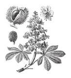 Horse chestnut or Conker tree (Aesculus Hippocastanum) - vintage illustration - 167195293