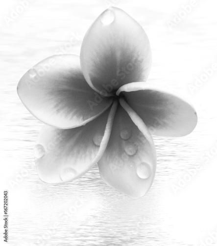 Fotobehang Plumeria fleur de frangipanier en noir et blanc
