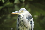 A big grey heron - 167204003