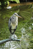 A big grey heron - 167204027