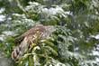 Goshawk in winter forest. Northern Goshawk landing on spruce tree during winter with snow. Wildlife scene from winter nature. Bird of prey in the forest habitat. Goshawk on spruce tree, Germany