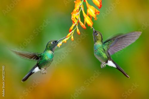 Hummingbird z pomarańczowym kwiatem. Dwa latający hummingbird, ptak w locie. Scena akcji z kolibrem. Turmalinu Sunangel łasowania nektar od pięknego żółtego kwiatu w Ekwador. Przyroda, las zwrotnikowy.