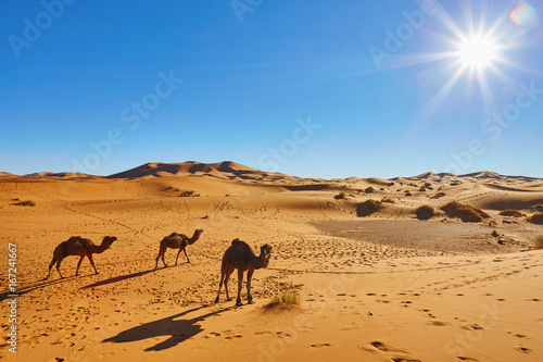 Papiers peints Maroc Camel caravan going through the sand dunes in the Sahara Desert