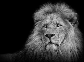 Lion portrait in black/white