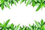 Fresh Mango leaf frame Isolate