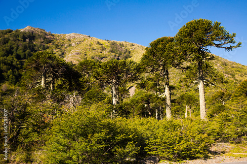 Trees at foot of Andes mountains