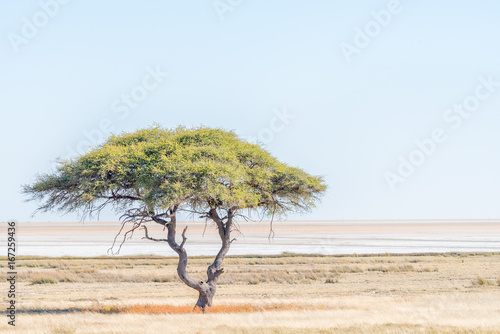 Lonely tree landscape with the Etosha Pan in the back