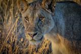Löwe im Morgenrot