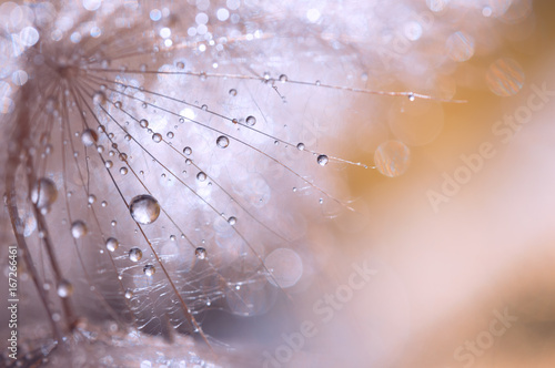 Macro seed of dandelion with water drops. Abstract photo with a dandelion after the rain. Selective focus - 167266461
