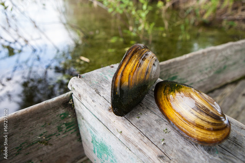 Shells of river mollusks on a textured wooden background Poster