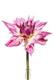 Dahlie / Dahlienblüte vor weissem Hintergrund - 167278278