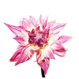 Dahlie / Dahlienblüte vor weissem Hintergrund - 167278450