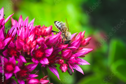 Foto op Aluminium Bee Bee on red summer flowers, natural photo