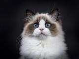 Szef strzału młodego dorosłego kota Ragdoll na czarnym tle (2)