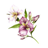 Composition with alstroemeria. Hand draw watercolor illustration. - 167289843