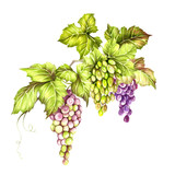 Bunch of grapes. Hand draw watercolor illustration. - 167290057