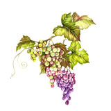 Bunch of grapes. Hand draw watercolor illustration.